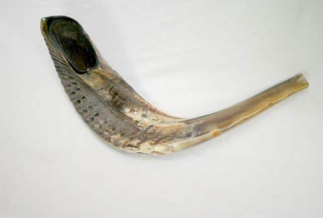 Medium Ram's Horn Half Polished Shofar - Kosher