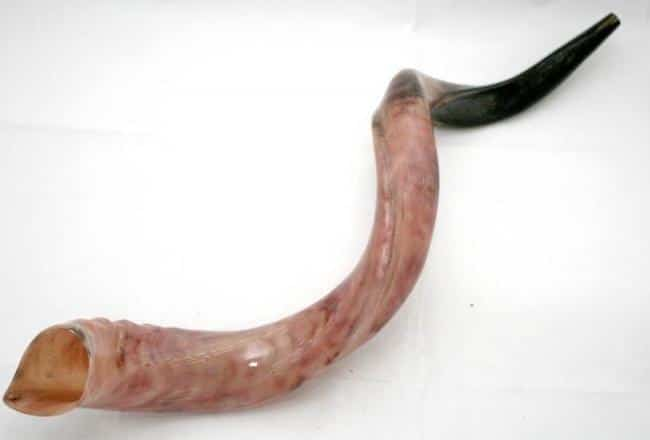 X-Large Yemenite shofar - Kosher